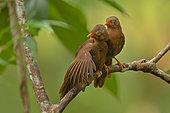Orange-billed Babbler (Argya rufescens) pair perched on a branch, Sri Lanka