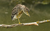 Black-crowned Night Heron (Nycticorax nycticorax) juvenile, Bavaria, Germany