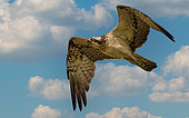 Western Osprey (Pandion haliaetus) flying, Brandenburg, Germany