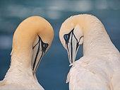 Northern Gannet (Morus bassanus) pair, Schleswig-Holstein, Germany