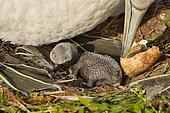 Northern Gannet (Morus bassanus) with chick, Schleswig-Holstein, Germany