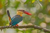 Stork-billed Kingfisher (Pelargopsis capensis), Sinharaja, Sri Lanka
