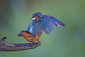 Common Kingfisher (Alcedo atthis) preening, perched on a branch, Saxony-Anhalt, Germany