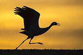 Common Crane (Grus grus) taking flight, Hornborga, Sweden