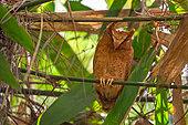 Serendib Scops Owl (Otus thilohoffmanni), Sinharaja, Sri Lanka