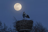 White Stork (Ciconia ciconia) pair in nest in moonlight, Mecklenburg-Western Pomerania, Germany