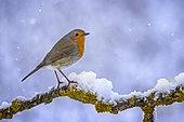 European Robin (Erithacus rubecula) perched on a snowy branch, Saxony-Anhalt, Germany