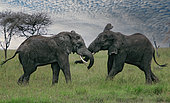 African elephant (Loxodonta africana) two males fighting, Serengeti National Park, Tanzania