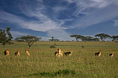 African Lion (Panthera leo) pack of female lions with cubs in savanna, Serengeti, Tanzania