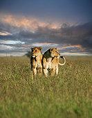 African Lion (Panthera leo) two females huddling together in savanna during sunset, Serengeti National Park; Tanzania