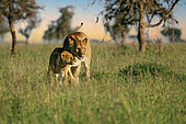 African Lion (Panthera leo) lioness cuddling and huddling together with cub in savanna, Serengeti National Park; Tanzania