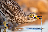 Eurasian Stone-curlew (Burhinus oedicnemus) drinking, Castile-La Mancha, Spain