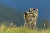 Alpine Marmot (Marmota marmota) juvenile foraging, High Tauern National Park, Carinthia, Austria