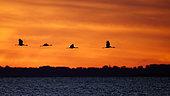 Common Crane (Grus grus) group flying, Mecklenburg-Western Pomerania, Germany