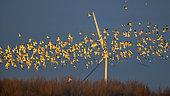 Black-headed Gull Chroicocephalus ridibundus() large group in flight near a wind turbine, Netherlands