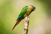 Maroon-bellied Parakeet (Pyrrhura frontalis) perched on a branch, Sao Paulo, Brazil