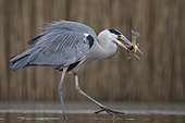 Grey Heron (Ardea cinerea) with fish prey in beak, Pusztaszer, Hungary