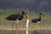 Black Stork (Ciconia nigra) with fish prey in beak, Tiszaalpár, Hungary