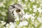 Southern White-faced Owl (Ptilopsis granti) captive, Germany