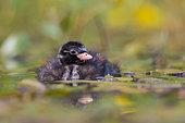 Little Grebe (Tachybaptus ruficollis) chick, North Rhine-Westphalia, Germany