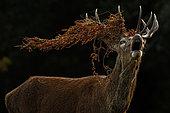 Red Deer (Cervus elaphus) stag roaring with vegetation hanging in antlers, United Kingdom