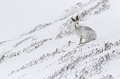 Mountain Hare (Lepus timidus) adult with winter pelage in snow, Cairngorms National Park, Scotland, United Kingdom