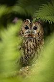 Tawny Owl (Strix aluco) captive, peeping through fern frond, Germany