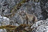 Arctic Fox (Vulpes lagopus), cub, Alkhornet, Svalbard Archipelago, Norway, Europe