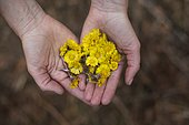 Coltsfoot (Tussilago farfara) flowers in hands, to be dried and used in herbal teas, Jura, France.