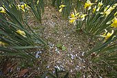 Pellets left on the ground in the middle of a daffodil station, after a winter shooting and biathlon initiation season, Jura, France.