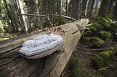 Red Banded Polypore (Fomitopsis pinicola) on a dead spruce tree, in the background, a spruce cone chipped by a squirrel, Jura, France.