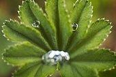 Water drops on an Alchemilla (Alchemilla sp) leaf, resembling a face (pareidolia), Jura, France.
