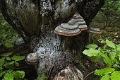 Red Banded Polypore (Fomitopsis pinicola) on a dead spruce tree, Jura, France.