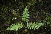 Male fern (Dryopteris filix-mas) and mosses in undergrowth, Jura, France.