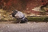 Young urban rock pigeon (Columba livia), dirty, on the ground. Barcelonnette, Alpes de Haute-Provence, France.