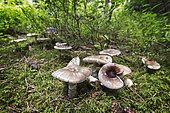 Amanites (Amanita excelsa var. excelsa) in a forest in the Haut-Jura. La Pesse, France.