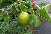 Lemon (Citrus x limon) fruit on tree