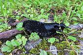 Black slug (Arion ater), Europe