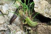 Schreiber's Green Lizard (Lacerta schreiberi) and slug, Asturias, Spain