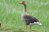 Greylag goose (Anser anser) in the grass, Europe