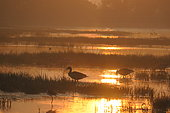 Greylag goose (Anser anser) on the shore at dawn, Europe