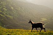 Alpine Chamois (Rupicapra rupicapra) on grass at dawn in summer, Slovakia