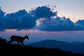 Alpine Chamois (Rupicapra rupicapra) silhouette in backlight at dawn in summer, Slovakia