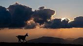 Alpine Chamois (Rupicapra rupicapra) in backlight at dawn in summer, Slovakia
