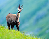 Alpine Chamois (Rupicapra rupicapra) on grass in summer, Slovakia