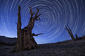 The ancient bristlecone pine trees found in the White Mountains of California are some of the oldest known living organisms. Star trails capture the movement of the stars above this unique looking bristlecone, a tree that may have spent millenia under star studded skies.