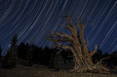 An old dead bristlecone pine tree sits against a path of star trails in the Patriarch Grove, Ancient Bristlecone Pine Forest, California.