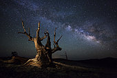 The Milky Way and a dead bristlecone pine tree high atop a dolomite ridge in the White Mountains, California.