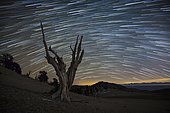 A dead bristlecone pine tree against a backdrop of star trails in the White Mountains, California.