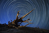 A lone bristlecone pine in the White Mountains of California.